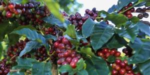 Koffein i kaffebønner