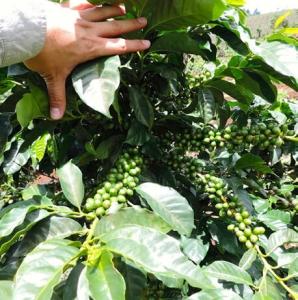 Finca El Durazno kaffebønner