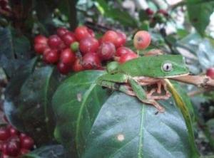 Peru kaffebønner