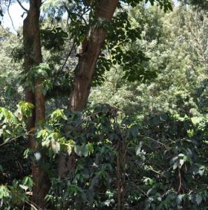 Kijani Kiboko smallholders coffee farmers