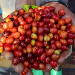 3 african sisters kaffebønner